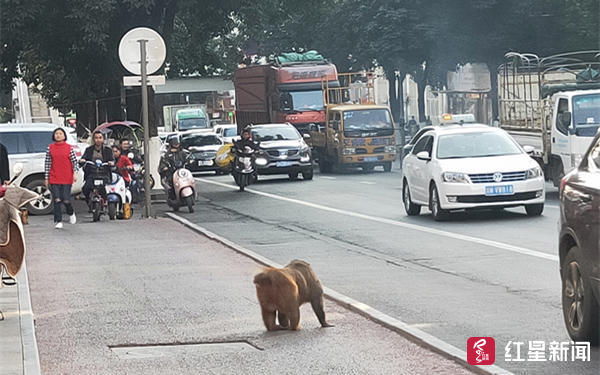 顽猴西昌城里作恶抓捕十几次未果林业局:保护动物,不能硬来