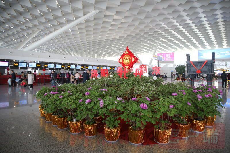 郑州机场旅客有眼福啦 牡丹竞相