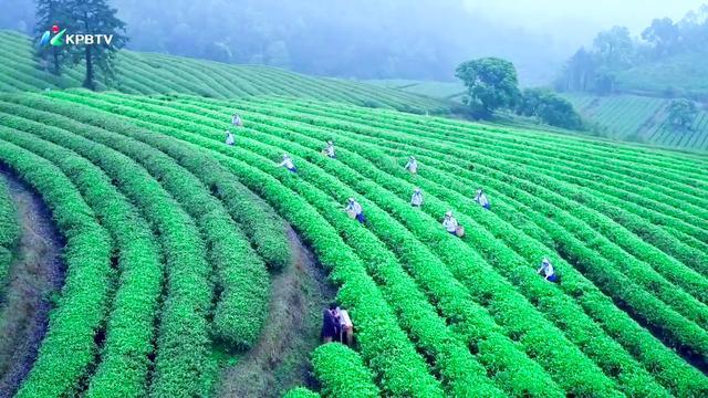 春茶开采啦!这里是珠三角规模最大的茶产业基地