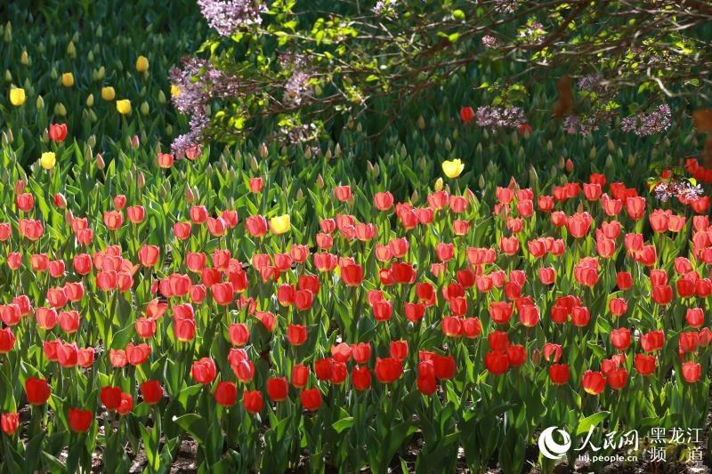 五月初夏黑龍江省森林植物園郁金香花開爭艷(圖)