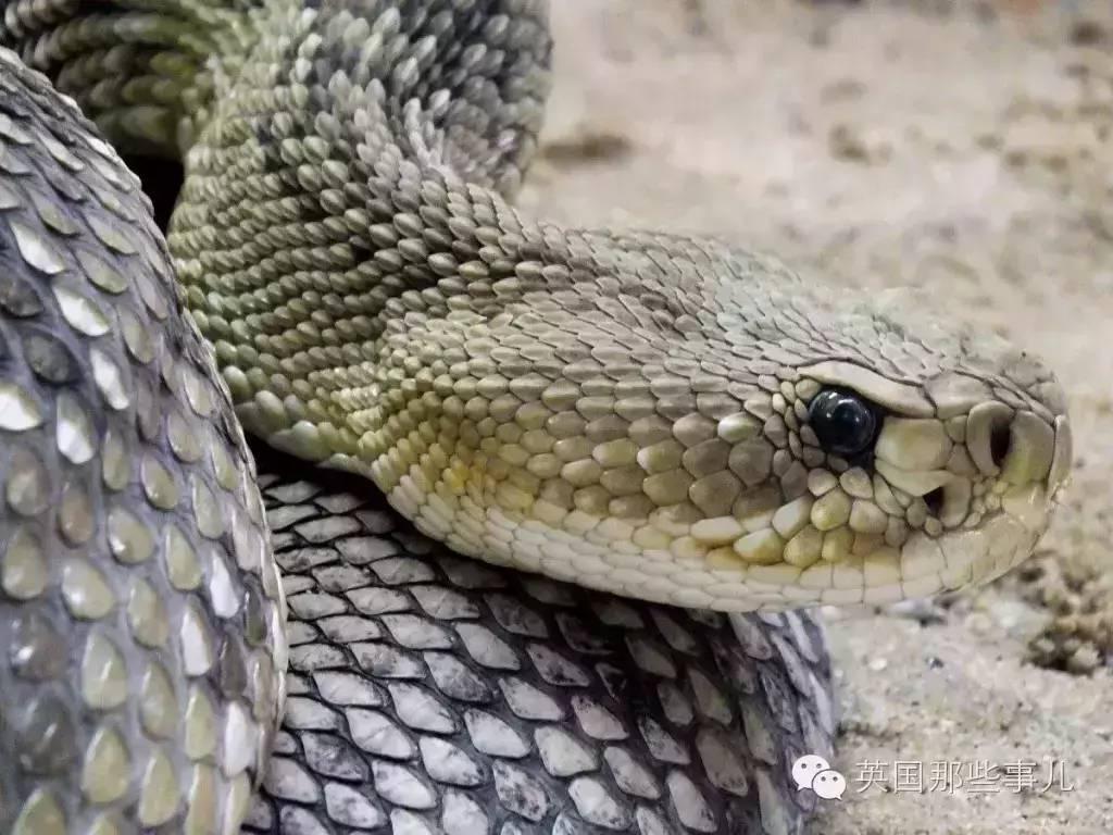 感人!这只德牧替小主人挡住响尾蛇的致命一击...