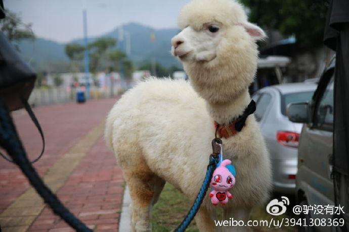 最囧羊驼君要骑羊驼从广州返乡,引数多家媒体争相报道