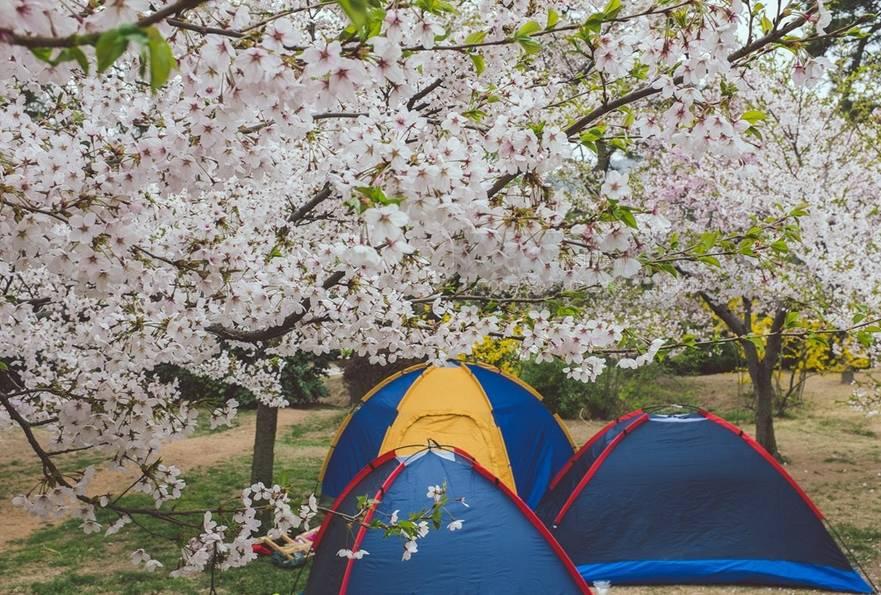 青岛中山公园 风吹来,樱花树随之摇曳, 整个樱花大道都落着粉色的雨。