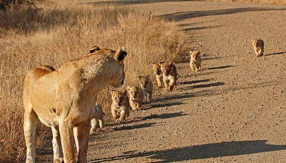 壁纸 动物 狮子 桌面 564_322