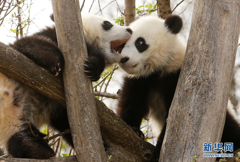 奥地利双胞胎大熊猫宝宝亮相 动作亲昵感情好(组图)