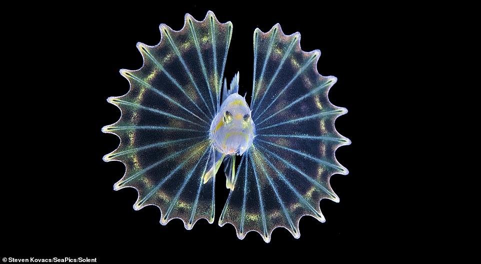 水下相机拍到狮子鱼宝宝:通体透明仅指甲盖大小