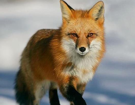 唐山大地震当夜一只狐狸报恩救人