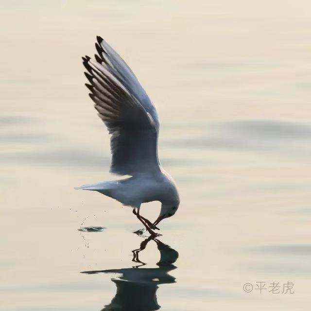 """财经资讯_海鸥回来了!青岛最全赏""""鸥""""攻略奉上!附地点_青岛频道_凤凰网"""