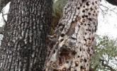 男子郊外徒步发现树上全是洞,上前细看后,瞬间起了一身鸡皮疙瘩