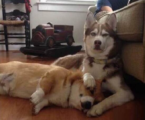 当哈士奇把其它狗狗的肚子搞大了之后。。。二哈的基因太强大了